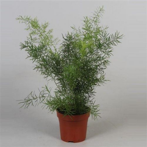 Asparagus Sprengeri House Plant In A 12cm Pot Asparagus Fern Buy Trees Shrubs Perennials Annuals House Plants Statues And Furniture