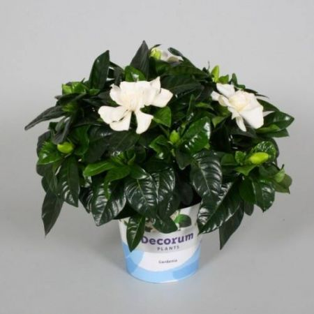 Gardenia jasminoides house plant in a 13cm pot.  Heavenly scented white flowers