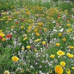 Wildflower seed for the garden annual seed mix Little Carpet