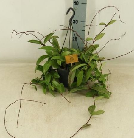 Hoya 'Shirley' trailing  house plant in a 15cm hanging pot.