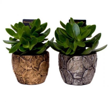 Money plant Crassula ovata in a GOLD coloured pot Jade house plant for wealth!