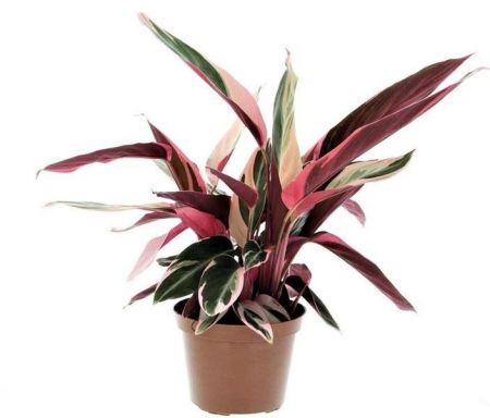 Stromanthe sanguinea Triostar house plant in a 12cm pot  colourful leaves