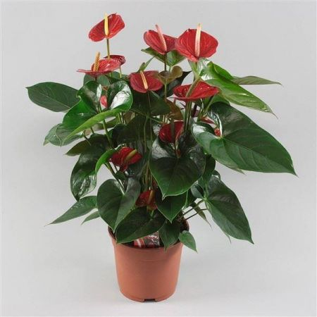Anthurium Diamond Bugatti Veyron Red house plant in 17cm pot