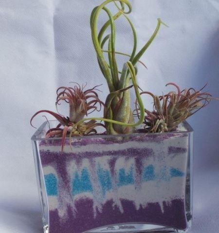 Air plant in MEDIUM glass rectangular cube with 400g PURPLE sand.