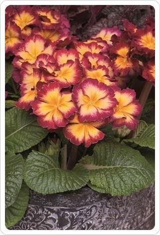 Polyanthus Showstopper Calypso Plant in a 10cm Pot x3