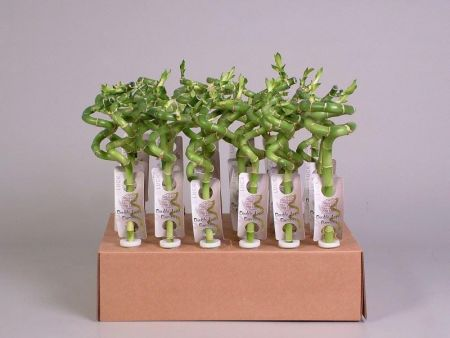 Lucky Bamboo Squiggle x 3.  30cm tall. Great gift for good luck!