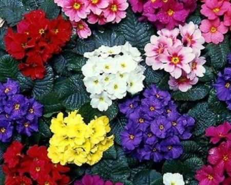 Primrose Plants with Dark Leaves in mixed colours. 12 Garden Ready Plants.