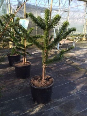 Monkey Puzzle Tree in a 27cm Pot.  80-85cm tall approximately.  Araucaria Araucana
