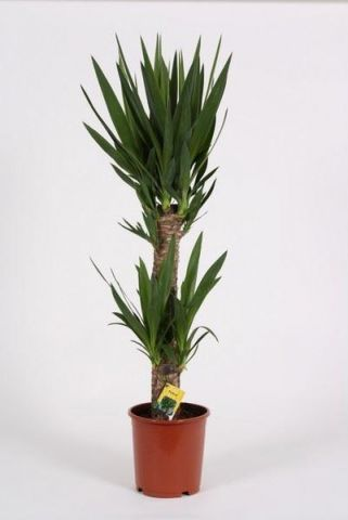 Yucca Tree with 2 Stems.  Tall plant at 95cm.