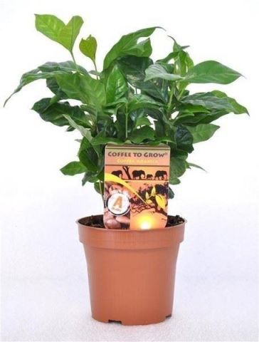 Coffee arabica house plant in 12 cm pot. Grow your own coffee!