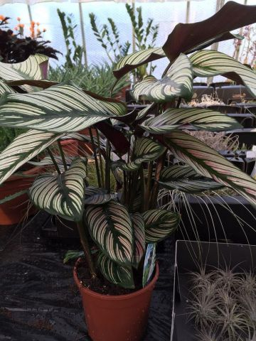 Calathea Whitestar house plant. Striking Leaves. 45cm tall