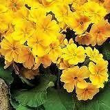 Polyanthus Elpiro Yellow plants x 9 in 9cm pot.  Highly scented.