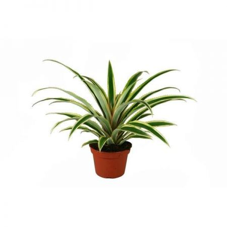 Pineapple house plant with variegated leaves in 12cm pot