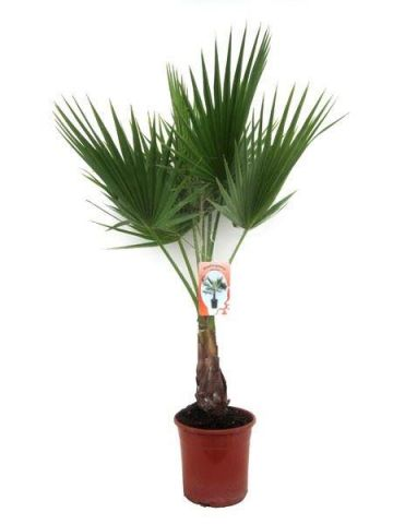 Washingtonia robusta house plant in a 18cm pot.  70-80cm tall.  Skyduster Palm