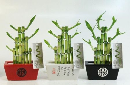 Lucky Bamboo 'Steps' in a BLACK ceramic pot. Indoor House plant, bonsai for Feng Shui