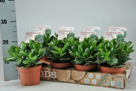 Money tree or jade house plant.  Crassula ovata Magical Tree succulent in a 17cm pot.