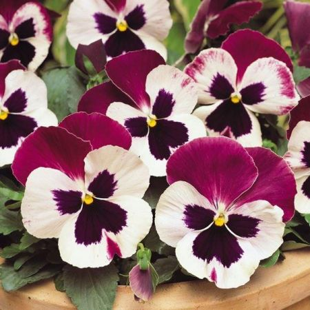 Pansy Cassis Mix Bedding Plants 12 Garden Ready Plants