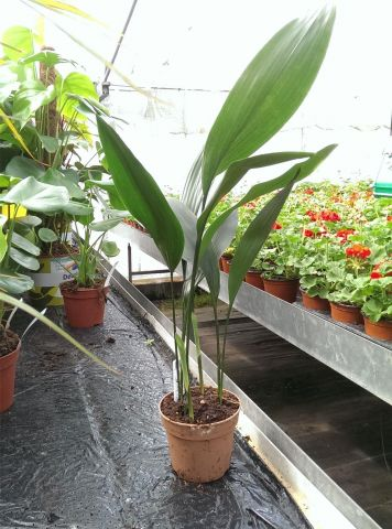 Aspidistra elatior House Plant in a 13cm Pot. 60cm tall. Cast Iron Plant