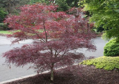Acer palmatum Enkan Japanese maple tree in an 8.5L patio pot
