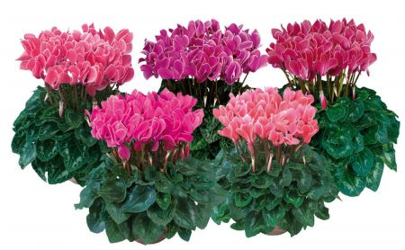 Mini Cyclamen MIXED plants with SILVER leaves in 9cm pots x 3. Hardy and scented