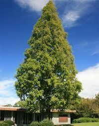 Metasequoia glyptostroboides dawn redwood tree in a 7L container