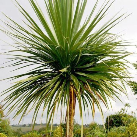 Cordyline australis plant in 13cm pot. Cabbage palm tree