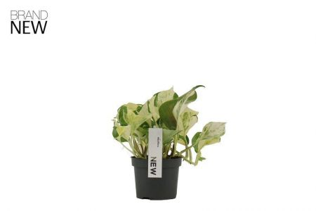Scindapsus Happy Leaf Plant in a 12cm Pot x 1. Devils Ivy NEW VARIETY