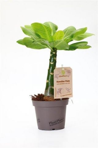 Volcano Palm Plant.  Brighamia Insignis. Native of Hawaii - endangered species