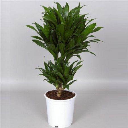 Dracaena compacta two stem house plant in a 17cm pot. 65cm tall approx