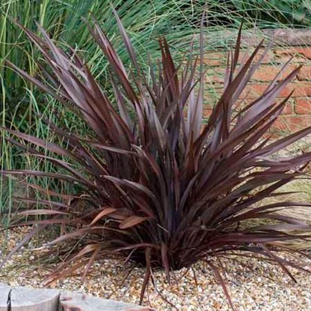 Phormium 'Bronze Baby' architectural evergreen plant in a 19/20cm pot. Flax Lily.