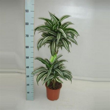Dracaena Jade Jewel House Plant with 2 Stems in a 19cm . Dragon Plant. 85cm tall inc. pot
