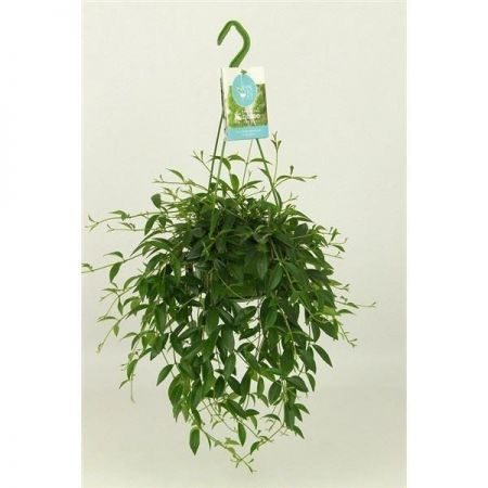 Codonanthe crassifolia house plant in 14cm hanging pot