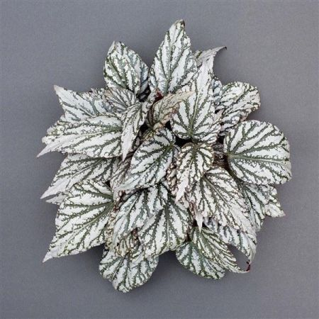 Begonia rex Magic Colours Jolly Silver house plant in 13cm pot