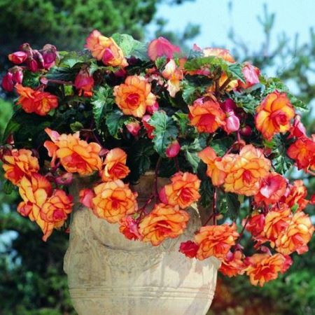 Begonia Aztec Gold Corms x 2. Good for Hanging Baskets