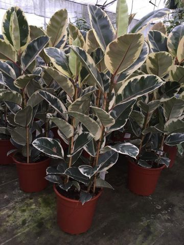 XL rubber plant Ficus elastica Tineke in 27cm pot. Unusual foliage.