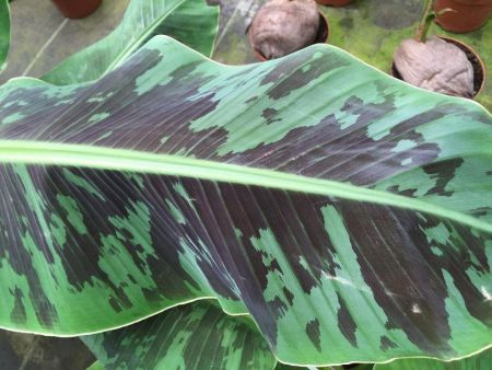 Musa dwarf Cavendish Red Plant.  Approx 70-90cm tall. Banana Tree