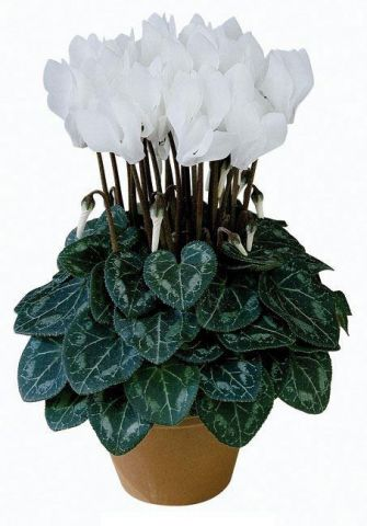 Mini Cyclamen WHITE plants in 9cm pots x 3. Hardy and scented