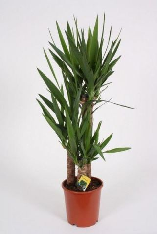 Yucca Tree with 3 stems.  Tall plant at 90-95cm.