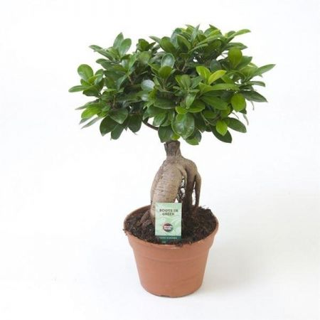 Ficus microcarpa ginseng bonsai house plant in a 17cm pot