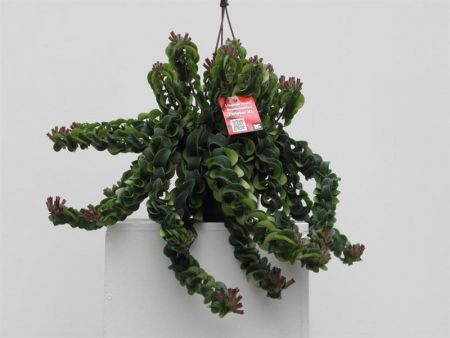 Aeschynanthus Twister XL house plant.  Medal winning unusual hanging plant