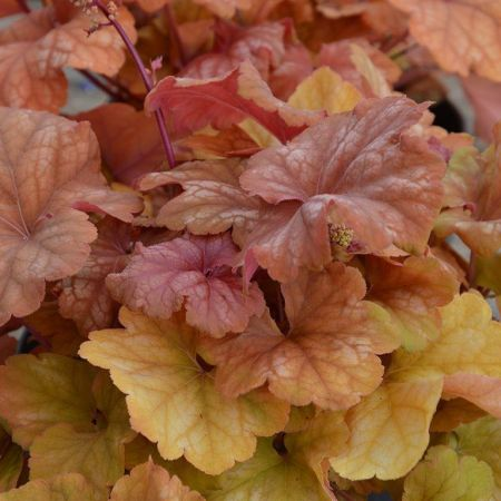Heuchera Champagne plant in a 17cm pot