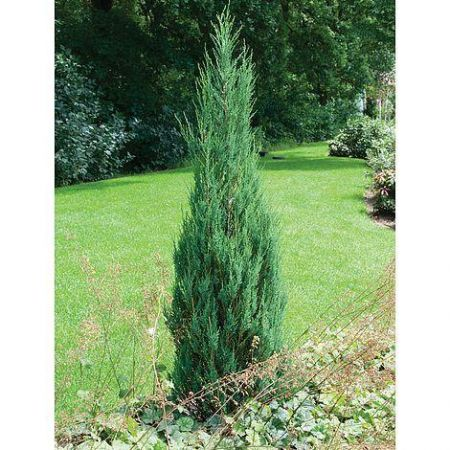 Juniperus Scopulorum Skyrocket Rocky Mountain Juniper Tree in a 7 Litre Pot