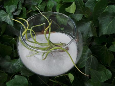 Tillandsia air plant displayed in glass fishbowl with 600g WHITE sand