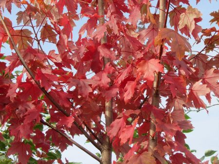 Acer x freemanii Autumn Blaze maple tree in a 12 litre container