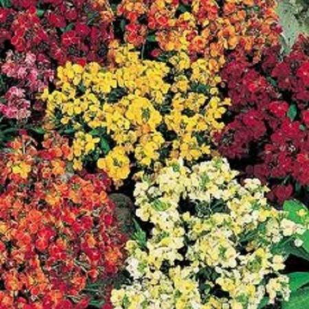 Bare root Wallflowers x 100.  Persian Carpet mix Freshly hand picked.