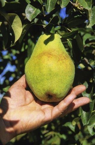 Pear (Pyrus) Christie tree in a 12 Litre pot - Bush form - Rootstock Quince A