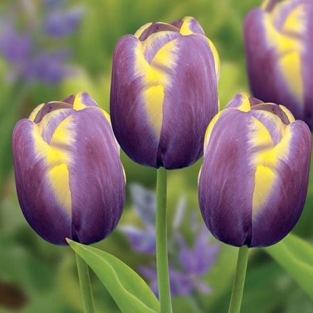 Tulip Arabian Beauty Bulbs x 6