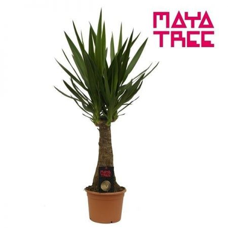 Yucca 'Maya' indoor tree house plant, 100cm tall. Rarely offered