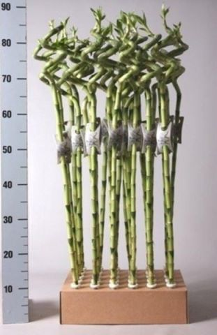 Lucky Bamboo Squiggle x 3.  80cm tall