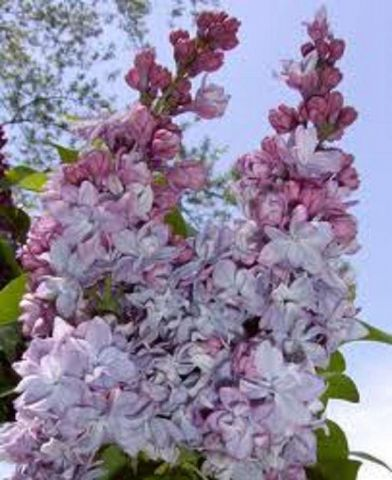 Syringa vulgaris Katherine Havemeyer lilac tree  shrub in 7 litre pot